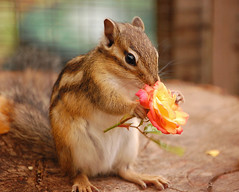 A Rose For You....  But You'd Better Be Quick.... (Wire_cat) Tags: pet animal rose rodent chipmunk supershot bej abigfave platinumphoto anawesomeshot impressedbeauty theunforgettablepictures wirecat