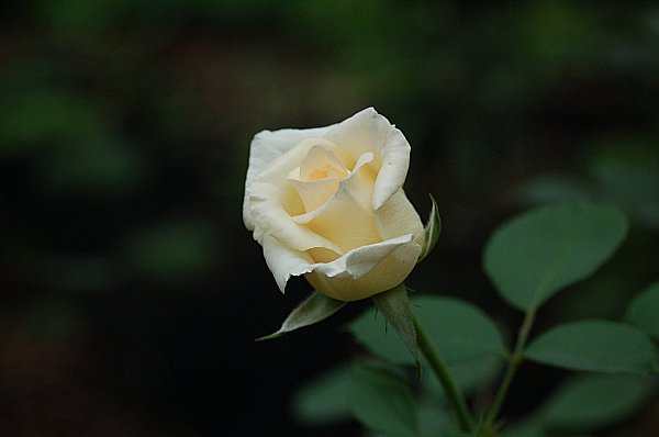DSC_0425_600_white_rose_bud