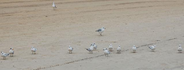 Unusual tern at Virginia Beach more photosdiscussionupdate by Dave W