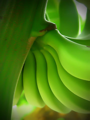 B-A-N-A-N-A-S (Gilbert Rondilla) Tags: camera plants house plant abstract color macro green nature up vertical closeup garden point photography photo nikon shoot close philippines banana explore retreat gilbert filipino digicam tagaytay musa notmycamera own pinoy s10 bananatree borrowedcamera imago oss pns saging novitiate lakatan tagaytaycity rondilla notmyowncamera imagoismthursday imagoism gilbertrondilla gilbertrondillaphotography luisianian ikawaypinoy sistersoblatesoftheholyspirit sistersoblates lpabstract gettyimagesphilippinesq1 sibsphoenix