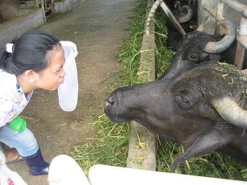 Time to faceoff against the carabao, Belle!