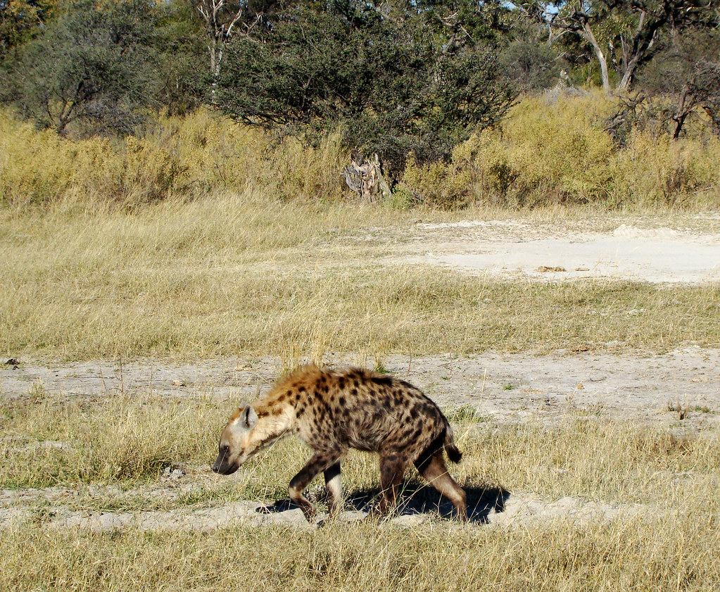 DSC07669 spotted hyena