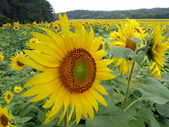 SunFlowers in the Rain (Robert Lz) Tags: explore robertlz sunflowersintherain