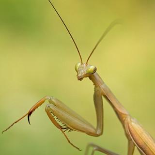 Mante religieuse (Mantis religiosa) Praying Mantis