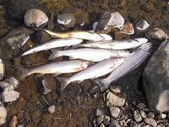 Nokkuð af veiðinni (Dr hoddsson) Tags: nature iceland fishing flyfishing trout fishingfly articchar víðidalsá