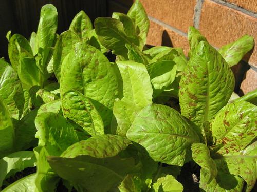Container gardening: lettuce