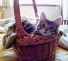 Our New Baby ~ Monster (FurBabyLuv *Finally back Online) Tags: monster cat kitten basket adopted mainecoonmix