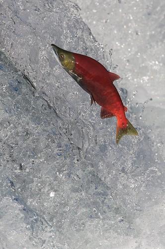 """死鱼 - """" 顺流而下的鱼是死的。"""""""