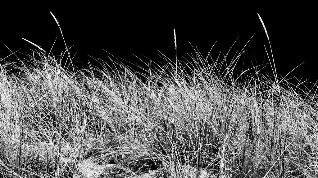 White beach grass against a black sky.