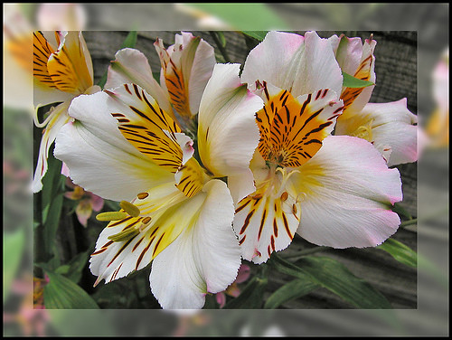 Photo: Alstroemeria aurantiaca