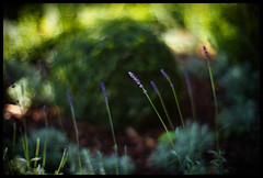 lucid dream (futureancient) Tags: sunlight sunrise morninglight haze focus bokeh radiance lavender explore lush frontpage stillness vegitation poised wideopen f095 leicam9 theluciddreaminglens fistglimpseoflight