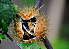 Datura stramonium (KurtQ) Tags: plants october sweden seeds 09 datura moonflower bergianska thornapple jimsonweed angelstrumpet devilsweed stinkweed daturastramonium jamestownweed tolguacha spikklubba malpitte kurtq madseeds