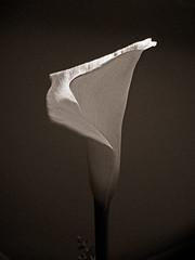 calla5 (tonyanthonye) Tags: flower callalily