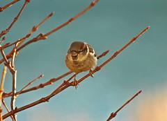 Sparrow (MLK6615) Tags: bird fall niagara sparrow myyard