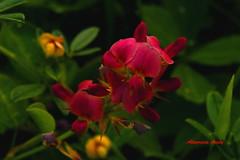 Rojas Diminutas/Red Tiniest (Altagracia Aristy) Tags: flowers flores flower weed amrica dominicanrepublic flor caribbean antilles caribe bocachica repblicadominicana maleza trpico antillas quisqueya fujifilmfinepixs8100fd fujis8100fd fujifinepixs8100fd tropoic altagraciaaristy carabi