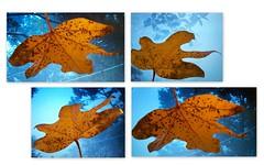 C'est l'Automne... (YAZMDG (16,000 images)) Tags: leaves leaf nsw yaz brachychitonacerifolius rainbowregion nswrfp yazminamicheledegaye northernriversspecies yazmdg geenengerry