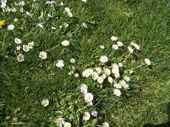 Daisies in Gasworks Park