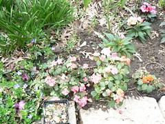 flowers impatiens