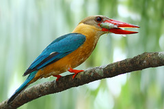 Stork-billed Kingfisher (kampang) Tags: storkbilledkingfisher