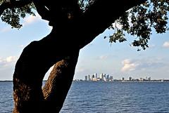 Tampa Branch • 133 / 365 (Robert_Keller) Tags: city sky tree leaves skyline clouds tampa bay florida branches horizon trunk hillsborough ballastpoint watretampabay