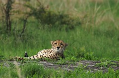 Cheetah Brothers Chillin (Enjoy Patrick Responsibly) Tags: africa cats animals nikon safari cheetah botswana bigcats okavango d300 okavangodelta 80400mmf4556dvr flickrbigcats