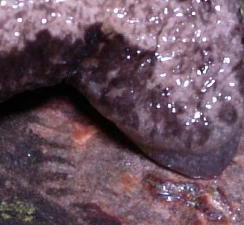 MegapalliferaMutabilis7