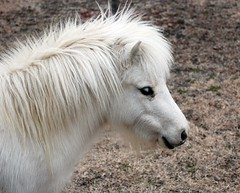 I might be little but I have alot of love for you!!! (skookums 1) Tags: horse nature beauty animals miniature texas wil