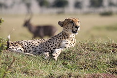 Cheetah (with lunch quietly slipping away) (Hector16) Tags: acinonyxjubatus masaimara kenya flickrbigcats potofgold bbc cheetah gettyimages getty images