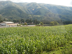 Growing Corn Outside Cusco