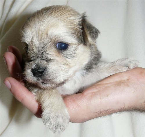 morkie puppies for sale in kent