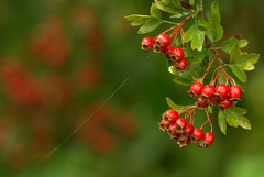 Berries and Berry bokeh on the Kennet & Avon towpath (lovestruck.) Tags: morning autumn red england green wet berries bokeh web depthoffield dew berkshire coloured towpath hawthorn selectivefocus challengeyouwinner pentaxk10d
