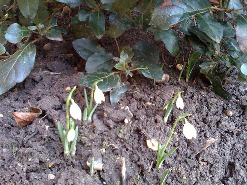 Snowdrops in January.