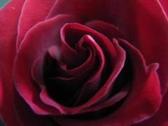 One Rose... (deu49097) Tags: red flower rose