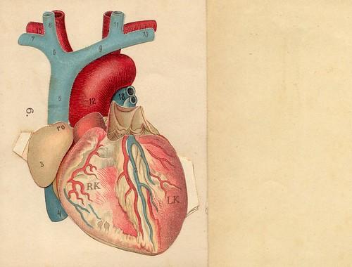 anatomie coeur 1