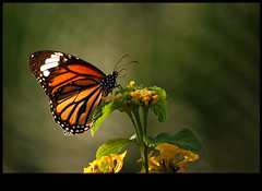 they always had those beautiful wings.. (sash/ slash) Tags: flower nature colors butterfly sash sajesh poombatta
