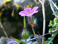 fiori di montagna (perplesso42) Tags: flowers slovenia fiori montagna bovec fiorellini feelsgood flowerotica plezzo citrit bausica flickrestrellas wonderfulworldofflowers awesomeblossoms anuniverseofflowers