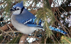 Blue Jay Male (chippewabear) Tags: blue winter urban snow tree bird birds seasons seasonal indiana bluejay pines birdfeeding birdwataching