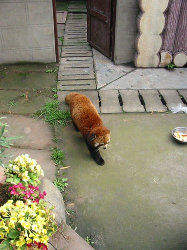 Rode panda: wasbeerachtig