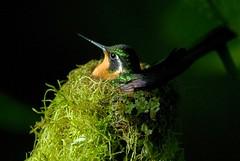 hummingbird-nest (mr.sharp-photo) Tags: bird nature costarica hummingbird monteverde naturesfinest monteverdecloudforest