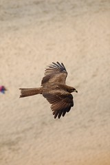 Indian Honey Buzzard