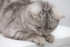 _MG_0387 (qchen) Tags: cat  britishshorthair  tabbycat cc300 cc200 cc100 kissablekat bestofcats ef70200mmf4lisusm kittyschoice pet100 speedlite580exii canoneos5dmarkii catmoments alittlebeauty