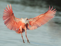 Roseate spoonbill landing (michaelrosenbaum) Tags: pink bird nature searchthebest florida group flight evergladesnationalpark avian birdwatcher spoonbill roseate michaelrosenbaum specanimal mywinners worldbest avianexcellence theunforgettablepictures cmwdpink 100commentgroup 100comment