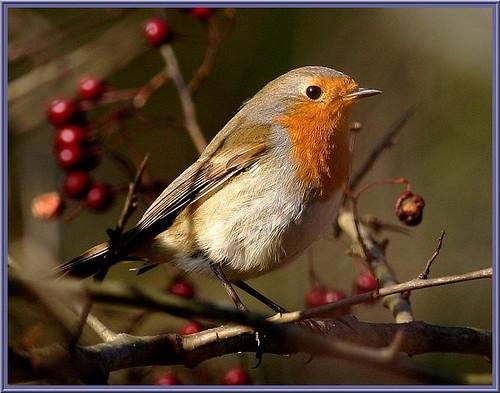 Rougegorge (Erithacus rubecula) Robin