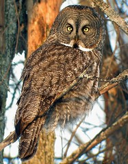 Great Gray Owl (Strix nebulosa) (Jeff&Amy) Tags: thomas ottawa great gray greenland owl strix nebulosa kanata strixnebulosa dolan dunrobin a jeffamy