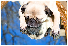 My Strange Little Dog ([Christine]) Tags: dog reflection pug odd wookie 1652 52weeksfordogs