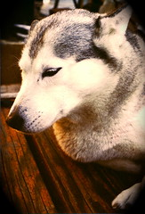 Sonja Begonia 1978  Husky/Malamute (MzDIS) Tags: california family friends dog pet pets dogs beautiful loving sisters fur fun friend husky view pentax spirit oneofakind marin houseboat canine huskies attitude siberianhusky soul iphoto marincounty mansbestfriend awe sausalito playful waldo richardsonbay womansbestfriend fourlegged canines zib heartandsoul huskymix gate5 zibs sausalitocalifornia artisticanimalphotos zibble waldopoint zibber ziber one~of~a~kind malamutehuskymix pentxspotmatic icehuskies zibbled zibbles zibbed zibed zibbing zibing zibest zibbest zibbier zibier zibler zibbler zibbiest