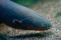 Electric Eel (elrina753) Tags: usa fish animals boston unitedstates massachusetts newengland eels newenglandaquarium aquariums electriceel electrophoruselectricus temblador