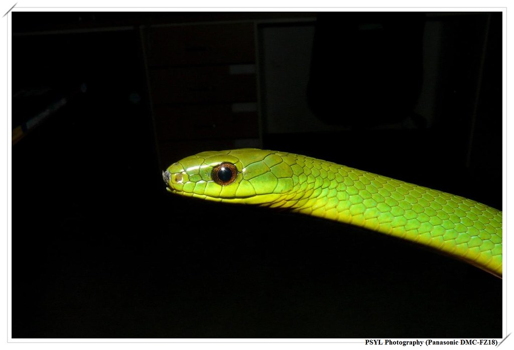 Smooth Green Snake (Cyclophiops major) - 青蛇