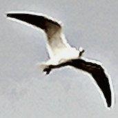 a single gull