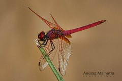Red Dragon Fly (Anurag Malhotra) Tags: life morning light red wild sky sun india hot color macro cute sexy green slr art nature water colors beautiful beauty animals fauna canon butterfly 350d zoo fly flying photo amazing cool flickr dragon angle good d delhi great group award best pro awards 1855 mumbai beauties 1000 bold chandigarh lense cfc exceptional enviorment hydrabad 55250 lakhnow